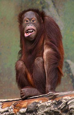 אורנגאוטנג צוחק - ויקיפדיה