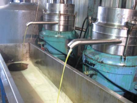 שמן באיכות כתית מעולה זולג למיכל האיסוף, צילום: דני בר