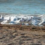littleseaguls