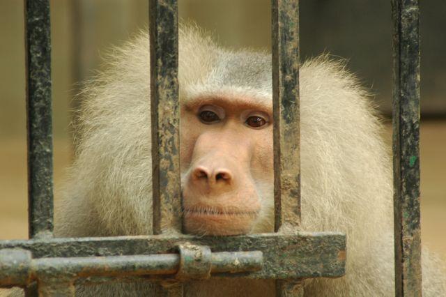 קוף מאחורי סורגים