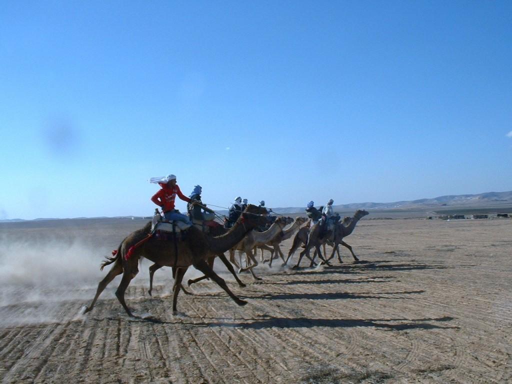מרוץ גמלים בדואי מסורתי שנערך בפסטיבל בדואי בצפון הנגב, סמוך לערד. נובמבר 2005 (צילום: ויקיפדיה)