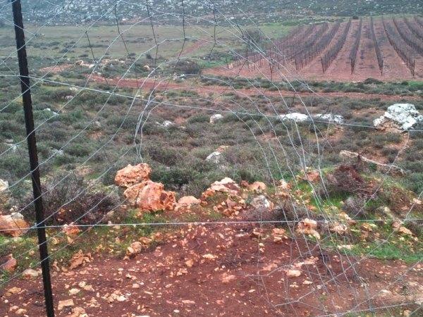 לטענת המתנחלים, הפלסטינים חיבלו בכרמים של היישוב (צילום: תצפית)