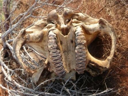 """האו""""ם קובע: המסחר הבלתי חוקי בשנהב שולש ב-15 השנים שחלפו"""