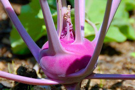 זן סגול של כרוב הקלח (מקור: ויקימדיה)