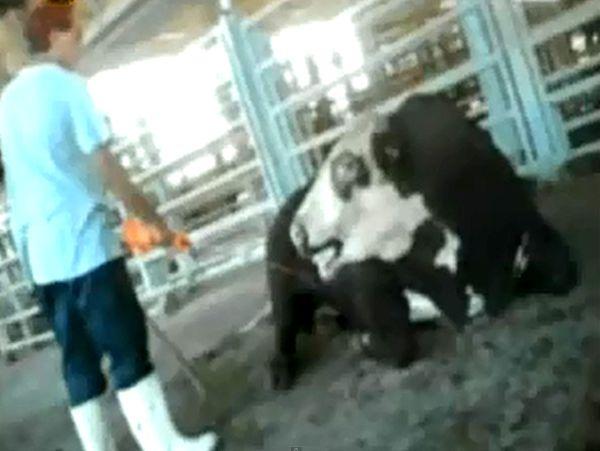 """תנובה על היחס לבע""""ח במפעל הבשר: זו אינה פינת ליטוף"""