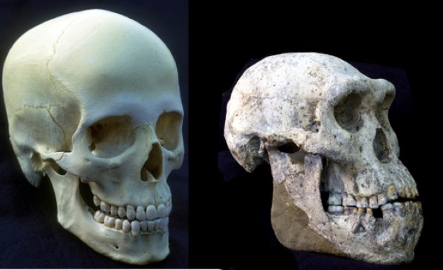"""צילום המשווה בין הגולגולת שנמצאה בגיאורגיה לבין גולגולת ה""""הומו סאפיינס"""" - האדם המודרני. (צילום: אבישג גינזבורג)"""