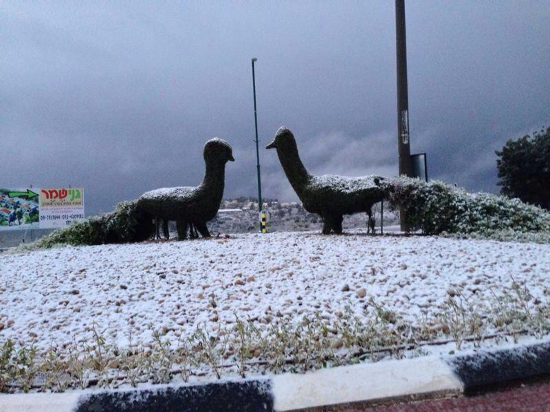 טווסים בשלג בקרני שומרון (צילום: שושנה כהן)