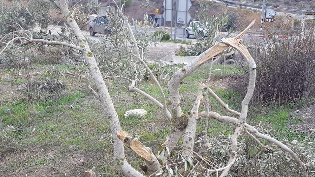 עצי זית שנשברו (צילום: זכרייה סדה - רבנים למען זכויות אדם)