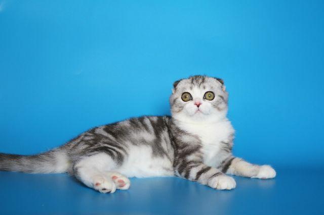 מי יהיה מלך היופי של החתולים לשנת 2012?