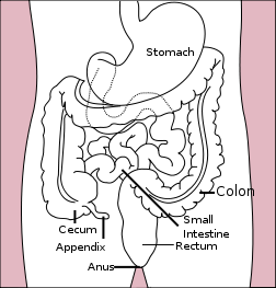 דיאגרמה של המעי הגס (מתוך ויקיפדיה)
