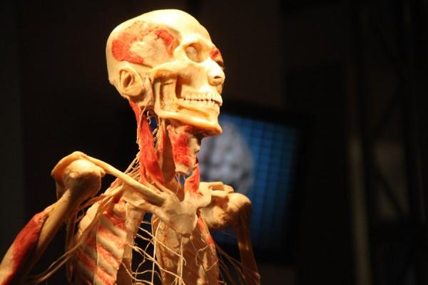 מבט חודר למבנה השרירים ולמערכת העצבים