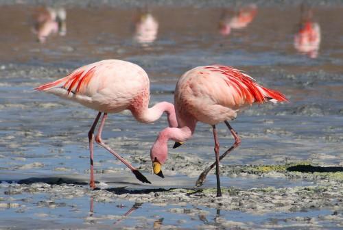 כתם נפט בחופי קורסאו מאיים על ציפורי הפלמינגו