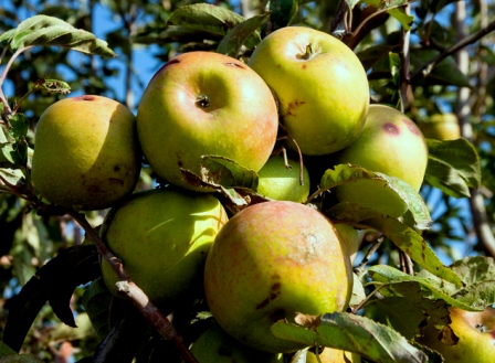 הישראלי צורך 125 תפוחי עץ בשנה (צילום: דן בר-דב)