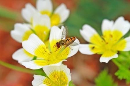 פולן דבורים, תמונה: טינה פיליפס, freedigitalphotos