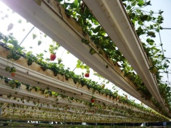 """גידול תותים במרחק מהקרקע (צילום: יח""""צ)"""