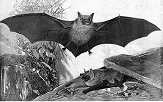 מעוף עטלף. צילום: ויקיפדיה