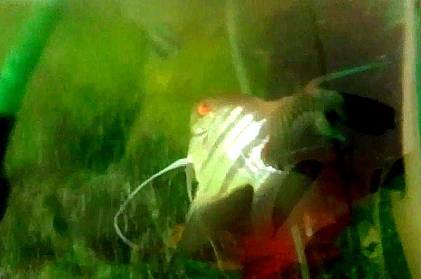 דג הסקלאר באלכסון