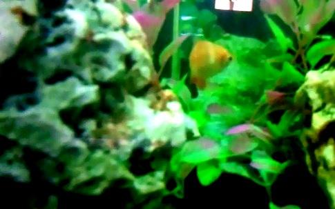 הדג הכתום המפוספס