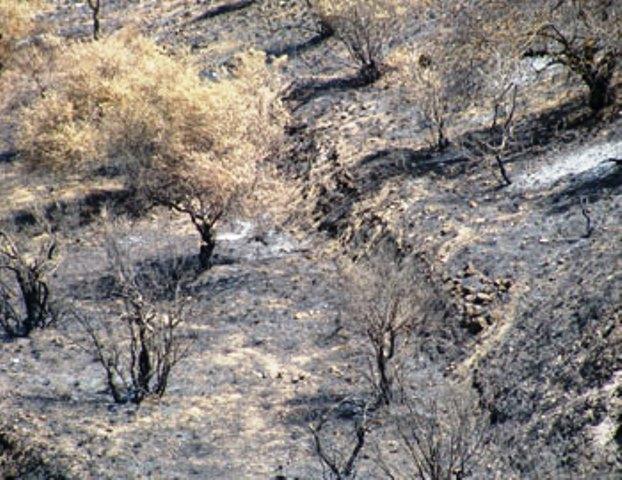 עצי זית שנשרפו במטעי בורין. (צילום: נועם פרייס, בצלם)