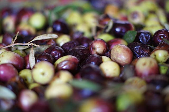 פסטיבל `ימי ענף הזית` חוגג חצי יובל