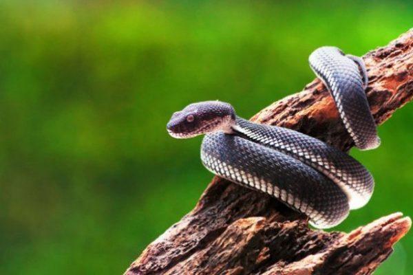black-mangrove-pit-viper-snake-purpureomaculatus-tree_1447-1551