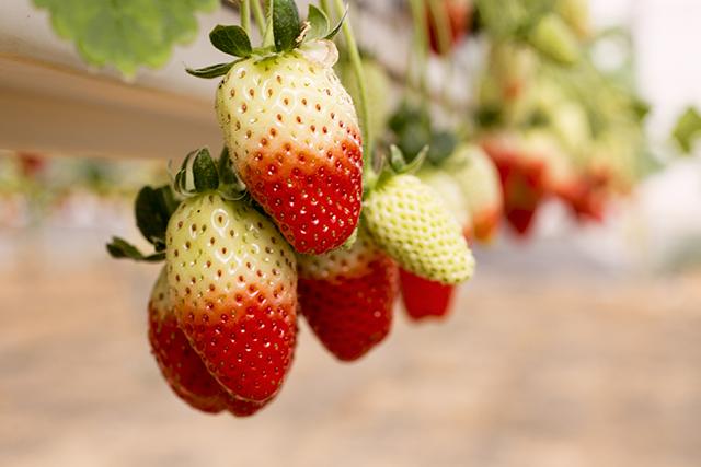 קטיף תותים בצפון הנגב (צילום:דן בר דוב)